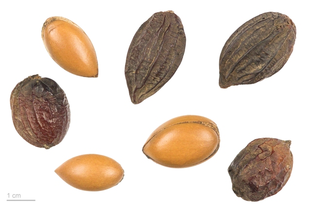 Argania-spinosa-MHNT.BOT_.2010.12.2-by-Roger-Culos-Treball-propi.-Licensed-under-Creative-Commons-Attribution-Share-Alike-3.0-via-Wikimedia-Commons.jp_.jpg